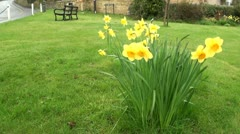 Spring Daffodils on Village Green Stock Footage