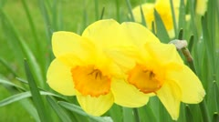 Yellow Spring Daffodil Flowers Stock Footage