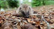 Hedgehog on a forest litter Stock Footage