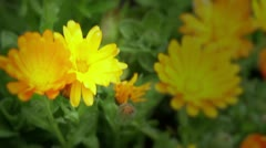 Yellow geraniums in Seattle p-patch - 1080p Stock Footage