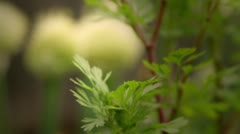 Onion flowers in Seattle p-patch - 1080p - stock footage