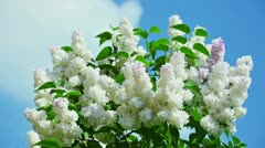 White lilac flower inflorescence in sunny spring day in front of blue sky Stock Footage