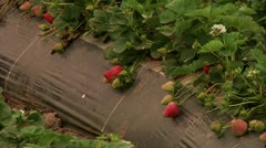 Unpicked Strawbarrys in a farm field food production immigration reform Stock Footage