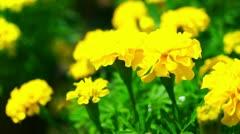 Yellow Marigold flowers Stock Footage