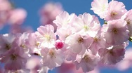Stock Video Footage of cherry blossoms and blue sky