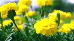 Yellow Marigold flowers Stock Footage
