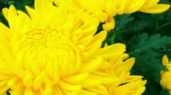 Chrysanthemum flower Stock Footage