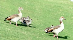 Duck family walking to water Stock Footage