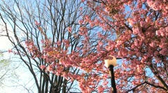 Cherry Blossoms Swaying in Wind Stock Video Stock Footage