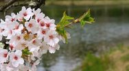 Cherry blossoms with background in the lake. Stock Footage