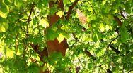 Chestnut Stock Footage