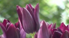 Tulipa Havran Stock Footage