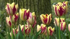 Tulipa Grand Perfection Stock Footage