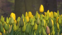 Tulipa Roi du Midi Stock Footage