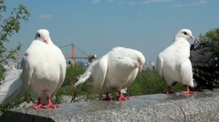 Beautiful white peacock pigeons Stock Footage