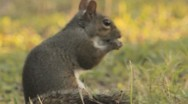 Stock Video Footage of Grey Squirrel Sciurus carlinensis