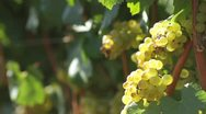 Stock Video Footage of Sonoma vineyard - 1080p HD