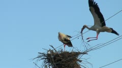 Stock Video Footage of storks build a nest