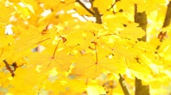 Autumnal Maple Leaves - stock footage