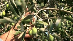 Farmer collecting olives Stock Footage