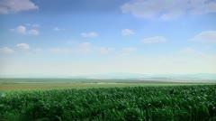 Corn Field in the Wind Stock Footage