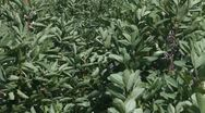 Stock Video Footage of Plants of potatoes in a windy day.