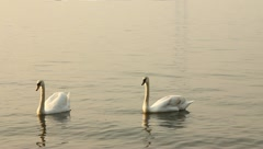 Group of swans swimming in the sea Stock Footage
