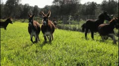 Stock Video Footage of Donkeys running in slow motion