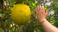 Stock Video Footage of enormous lemon hanging on tree, hand for comparison