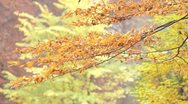 Stock Video Footage of Autumn leaves on swaying branches