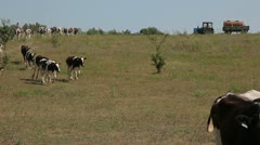 A herd of cows going to the lake Stock Footage