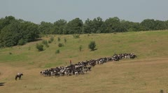 A herd of cows grazing in the meadow Stock Footage