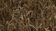 Сolossus of wheat Stock Footage