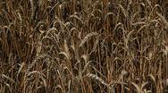 Сolossus of wheat Stock Footage