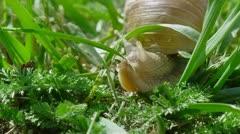European pulmonate land snail. Stock Footage