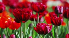 Red tulips on flower bed, closeup view Stock Footage