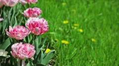 Pink tulips on flower bed with green grass Stock Footage