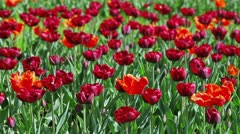 Many red tulips on flower bed Stock Footage