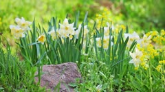 White and yellow narcissus on landscaping design flower bed - stock footage
