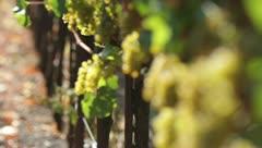 Sonoma vineyard - 1080p HD Stock Footage