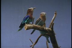 Three small Bluebirds, at National Aviary in Pittsburgh, Pennsylvania - stock footage