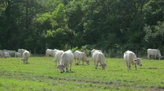 The white cow in the meadow Stock Footage