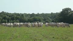A herd of cows Stock Footage