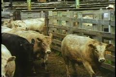 Omaha, Nebraska stockyards, a row of cattle moving forward Stock Footage