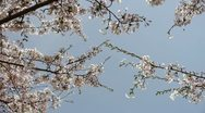 Beautiful cherry blossoms tremble in wind. Stock Footage