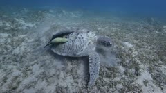 Green turtle eating.mp4 Stock Footage