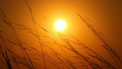 The cereal andother grass and sun background Stock Footage