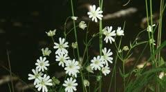 Field Chickweed, akkerhoornbloem,  Cerastium arvense, 01p Stock Footage