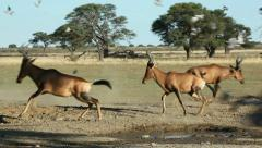 Red hartebeest and doves Stock Footage