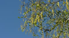 Spring birch catkins in the wind and sky Stock Footage